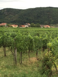 Vines in the Wachau Valley, Austria