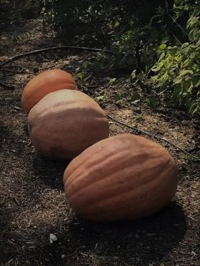 Large Pumpkins from David