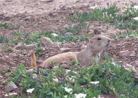 Prairie Dog near hotel in Amarillo, Texas