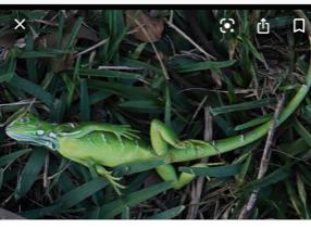 dead iguana 3